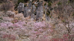 Wild Japanese Plum Trees on Hillside in Japan -Pan Left- Stock Footage
