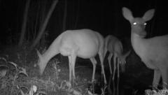 Whitetail Deer Pregnancy Stock Footage