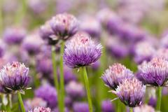 garlic flower - stock photo