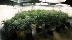 Room Full of Indoor Marijuana Plants with Fisheye Lens Stock Footage