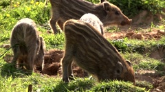 boar piglet in a german forest - stock footage