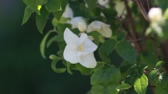 White bougainvillea flower on the wall Stock Footage