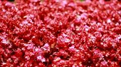 Many beautiful red flowers Ukraine Stock Footage
