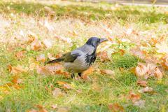 Hooded Crow in Autumn Kuvituskuvat