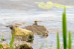 Dragonfly Flying - stock photo