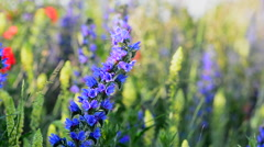 Blueweed - Viper's Bugloss, Echium vulgare wildflowers in full blossom in Sweden Stock Footage