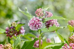 Asclepias Flower Stock Photos
