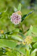 Asclepias Flower and Bee Stock Photos