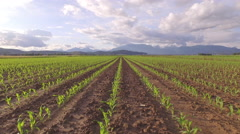 AERIAL: Flying above the rows of young small maize with mountains in background Stock Footage