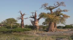 Panning shot of Baobab trees in Botswana Stock Footage