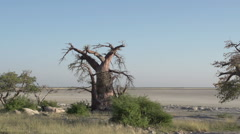 Panning shot of Baobab trees with Makgadikgadi Pans in the background, Botswana - stock footage