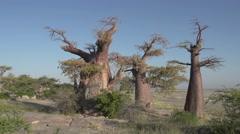 Panning shot of Baobab trees with Makgadikgadi Pans in the background, Botswana Stock Footage