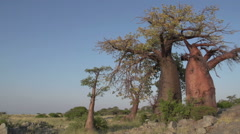Panning shot of Baobab trees, Botswana - stock footage