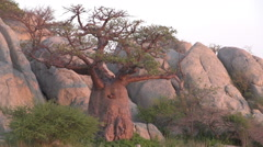 Zoom out on Baobab trees with Makgadikgadi Pans in the foreground, Botswana Stock Footage