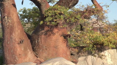 Zoom out on Baobab trees in Botswana - stock footage