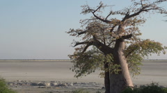 Zoom out on Baobab trees with Makgadikgadi Pans in the background, Botswana - stock footage