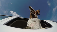 Basset hound with head out of car window with flapping ears - stock footage