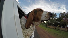 Basset hound with head out of car window with flapping ears in 4K - stock footage