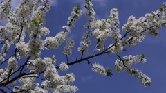 Branch cherry tree flowering Stock Footage
