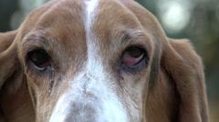 Close-up portrait of Basset hound with sad eyes - stock footage