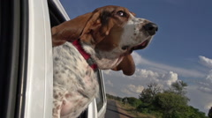 Slow motion of Basset hound with head out of car window with flapping ears - stock footage