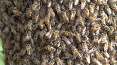 Close-up of African honey bee swarm - stock footage
