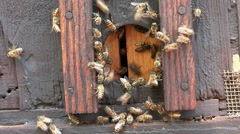 African honey bees entering and exiting enterance to beehive or apiary - stock footage