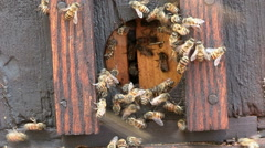 African honey bees entering and exiting enterance to beehive or apiary Stock Footage