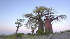 Time-lapse of sun rising on a group of baobab trees,Botswana - stock footage