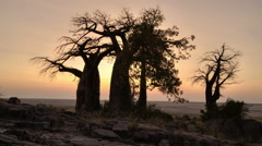 Time-lapse of sun rising with baobab trees in silhouette,Botswana Stock Footage