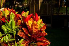 "Codiaeum variegatum (""garden croton"" or ""variegated croton""; syn. Croton vari - stock photo"