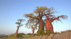 4K Time-lapse of sun rising on a group of baobab trees,Botswana Stock Footage