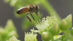 Bee lands on flower then flies away Stock Footage