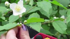 Jasmin flower cut Stock Footage