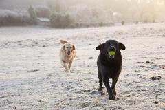 Two Dogs Running Through Frosty Landscape Chasing Ball Stock Photos