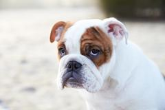 English Bulldog Puppy In Frosty Landscape Stock Photos