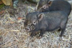 Two Pet Micro Pigs On Straw - stock photo