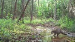 Raccoon (Procyon lotor) feeding in a south Georgia swamp Stock Footage