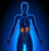 Kidneys - Female Organs - Human Anatomy - stock illustration
