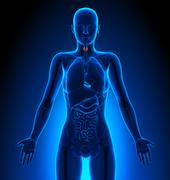 Thyroid - Female Organs - Human Anatomy - stock illustration