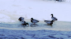 Duck flock at river shore 4K Stock Footage