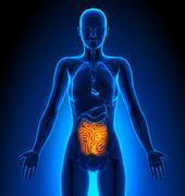 Small Intestine - Female Organs - Human Anatomy - stock illustration