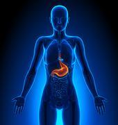 Stomach - Female Organs - Human Anatomy - stock illustration