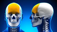 Male Frontal Bone Skull Anatomy - blue concept - stock illustration