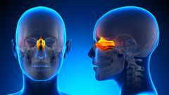 Female Ethmoid Skull Anatomy - blue concept - stock illustration