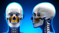 Female Maxilla Bone Skull Anatomy - blue concept Stock Illustration