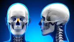 Female Nasal Bone Skull Anatomy - blue concept Stock Illustration