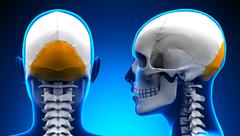 Female Occipital Bone Skull Anatomy - blue concept - stock illustration