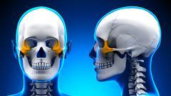 Female Zygomatic Bone Skull Anatomy - blue concept - stock illustration