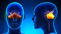 Female Cerebellum Brain Anatomy - blue concept - stock illustration